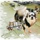 創作者 大理石吉娃娃犬舍 的頭像